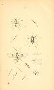 220px-MonographiaChalciditumPlateKdel